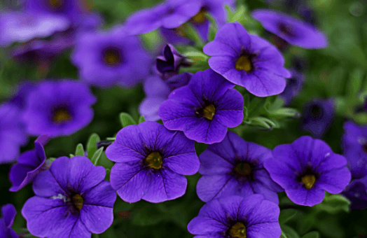 The 8 most popular bedding plants for summer