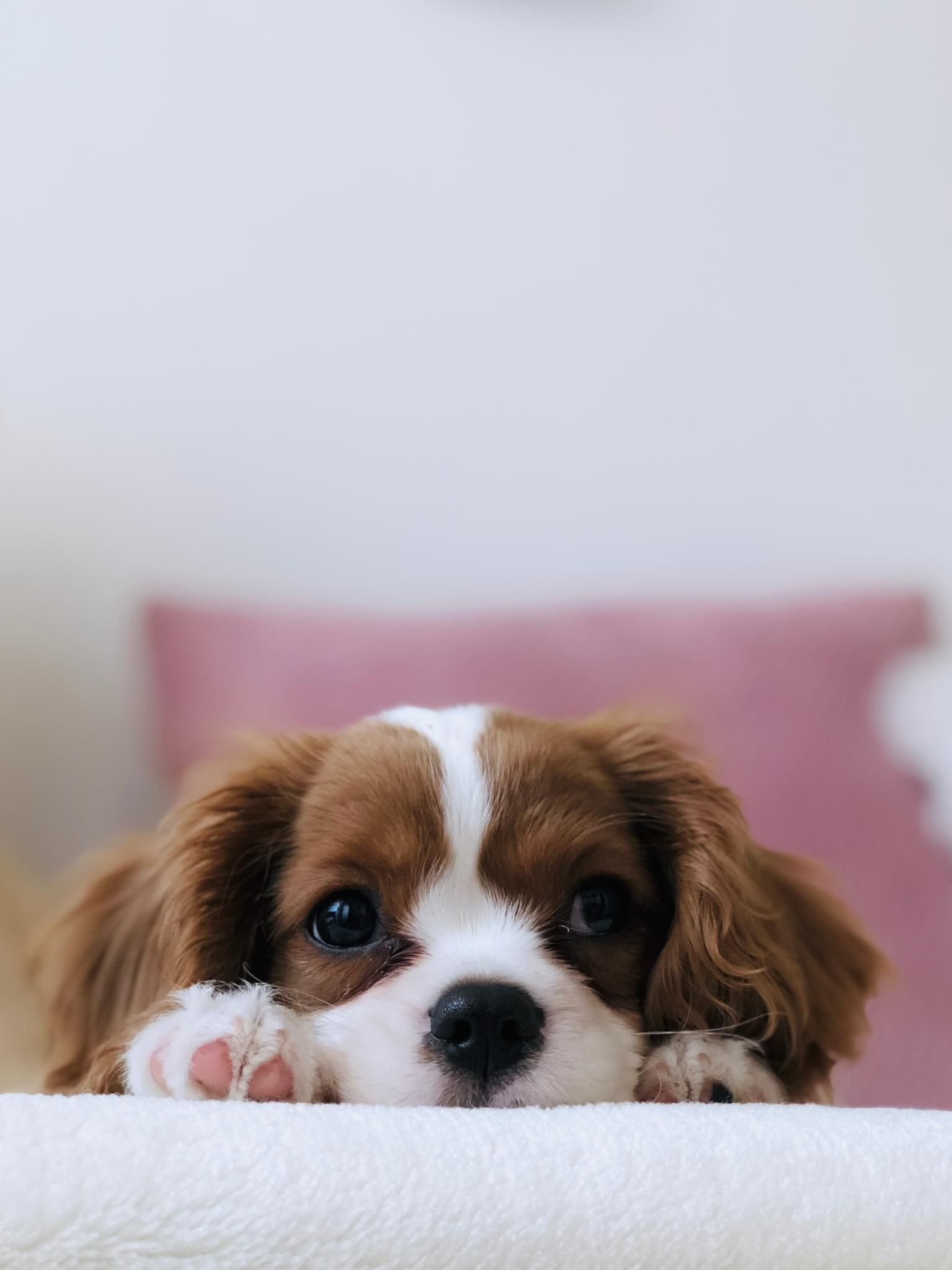 Brown and white puppy pet