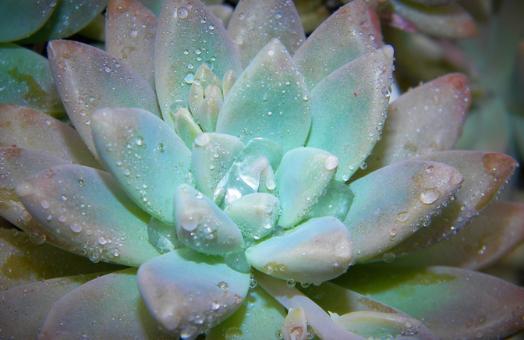 succulent princess blue