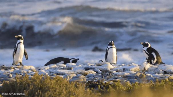 Robben Island penguins