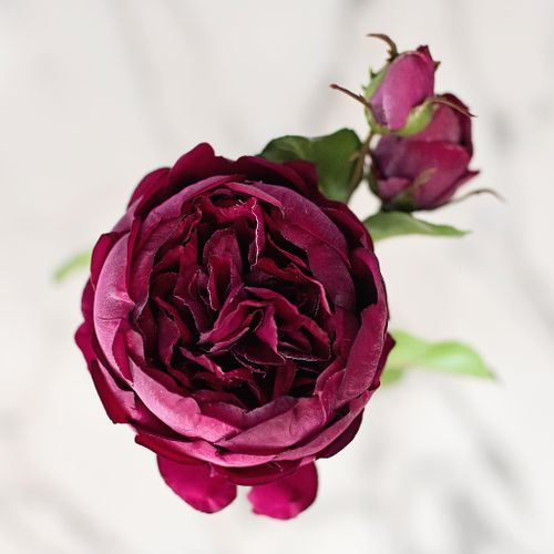 Burgundy English Rose