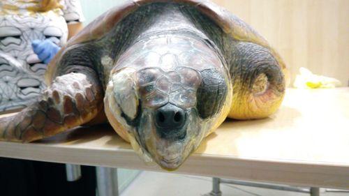 Wildlife Vets Help Save Turtles