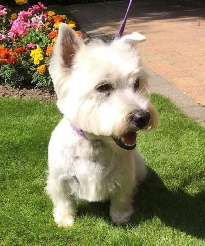 UK falls out of puppy-love with Westies