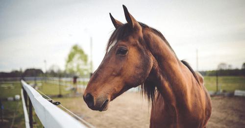 Understanding the Gaited Horse