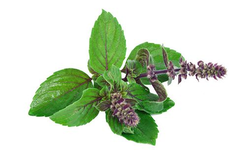 Holy basil: A sacred herb that helps fight cancer