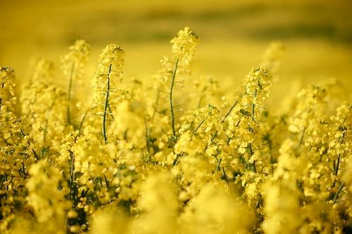 Rapeseed protein consumption has comparable beneficial effects on human metabolism as soy protein, say nutrition scientists in Germany.