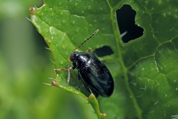 Farmers wanted for battle against Cabbage Stem Flea Beetle