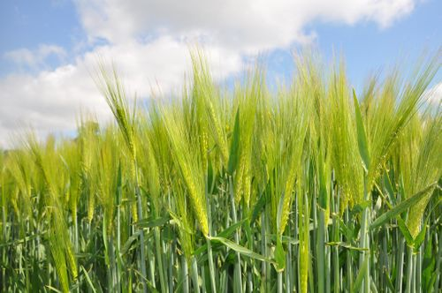 New cereal varieties and new barley seed treatment option from Syngenta at Cereals Event Live