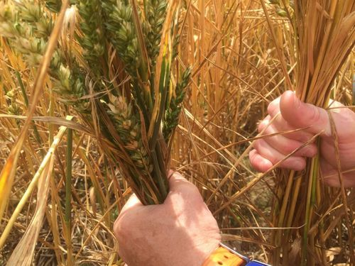 Act now to reduce crop stress during dry conditions