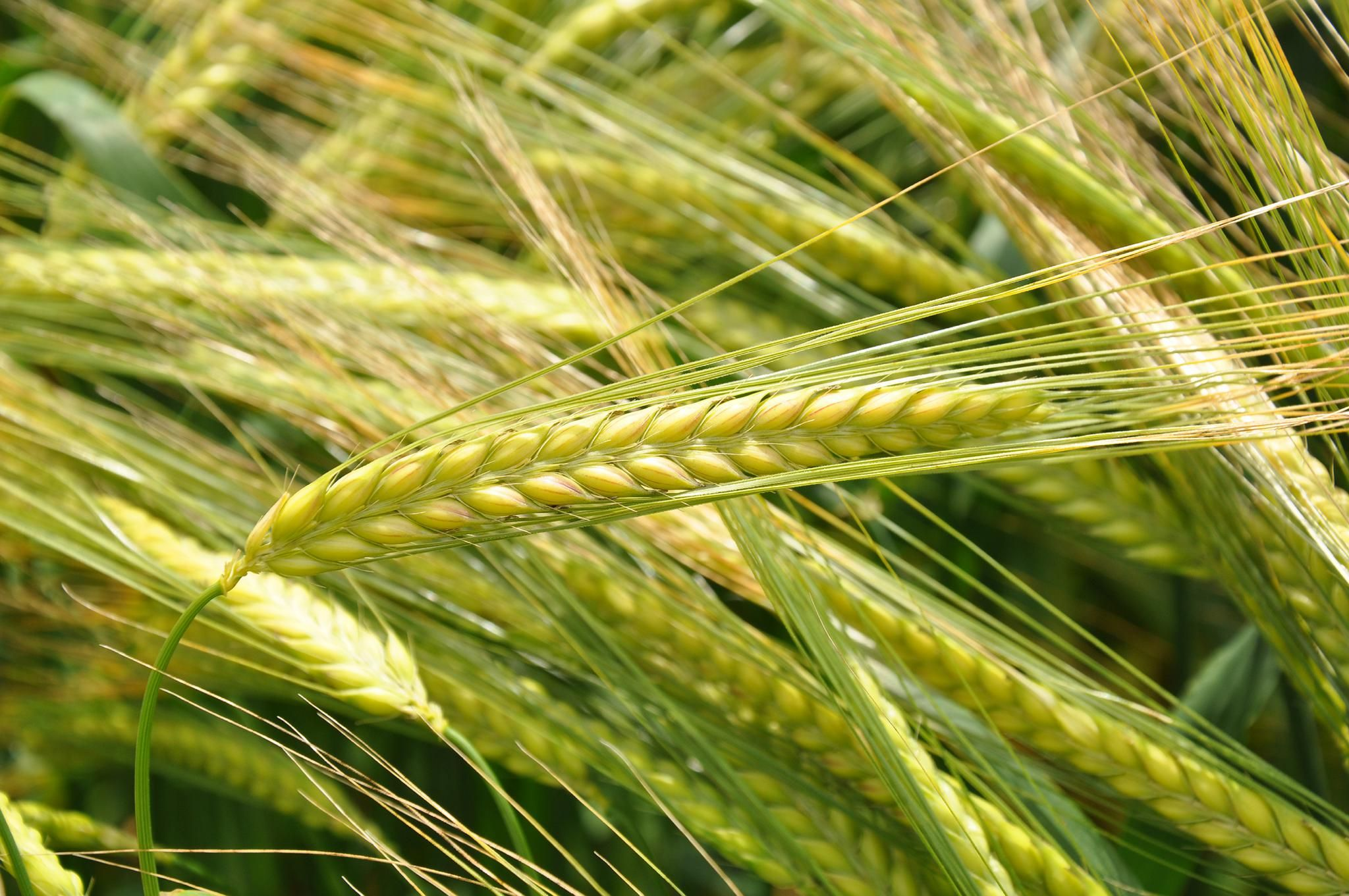 SEVEN NEW CEREAL VARIETIES TO FEATURE IN SYNGENTA PLOTS AT CEREALS 2019