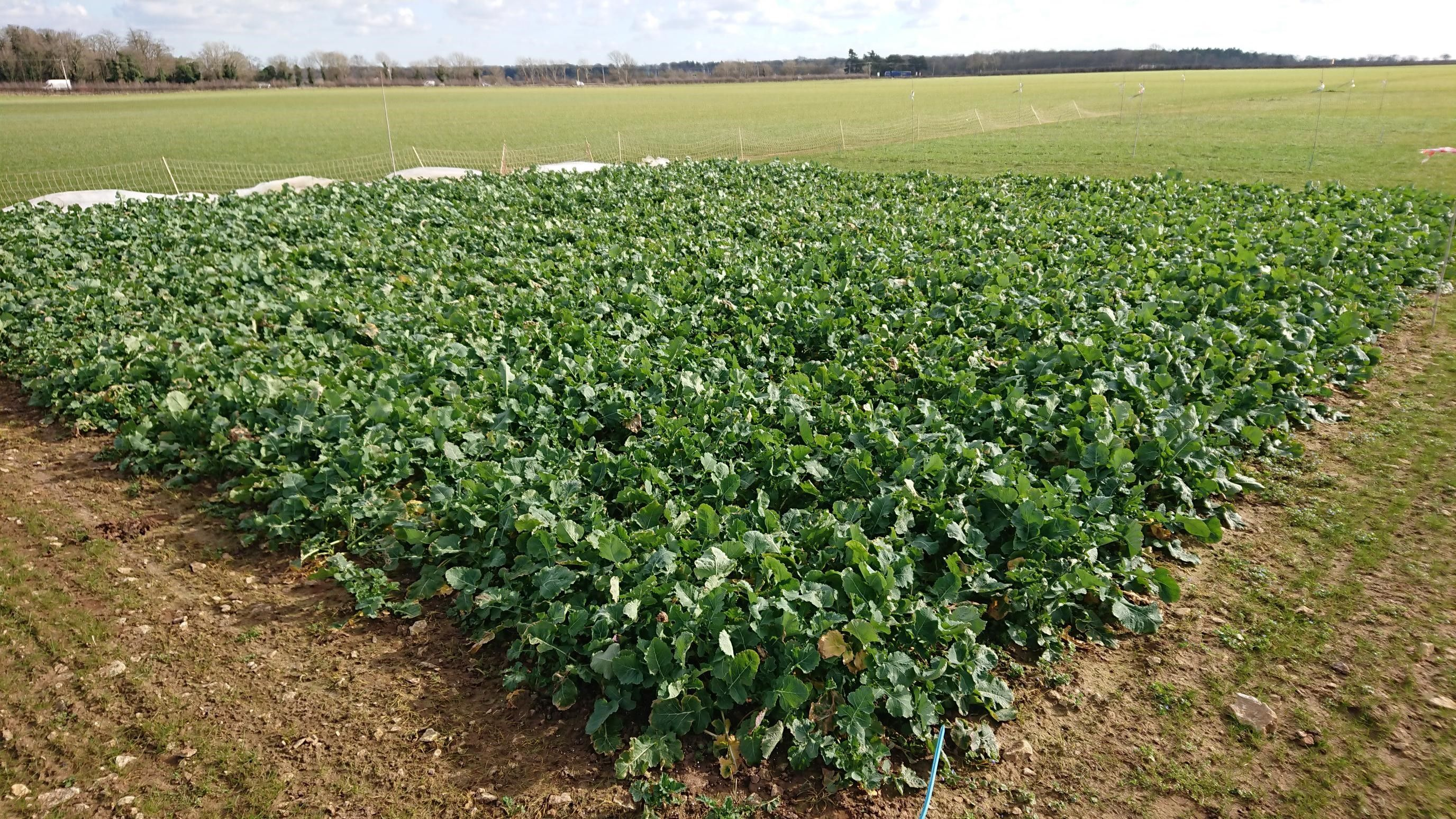 Cereals 2021 crop plots overwinter well