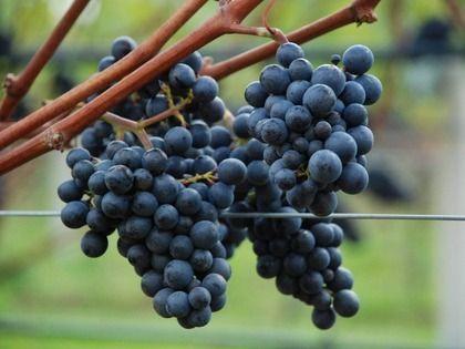 Viticulture pic