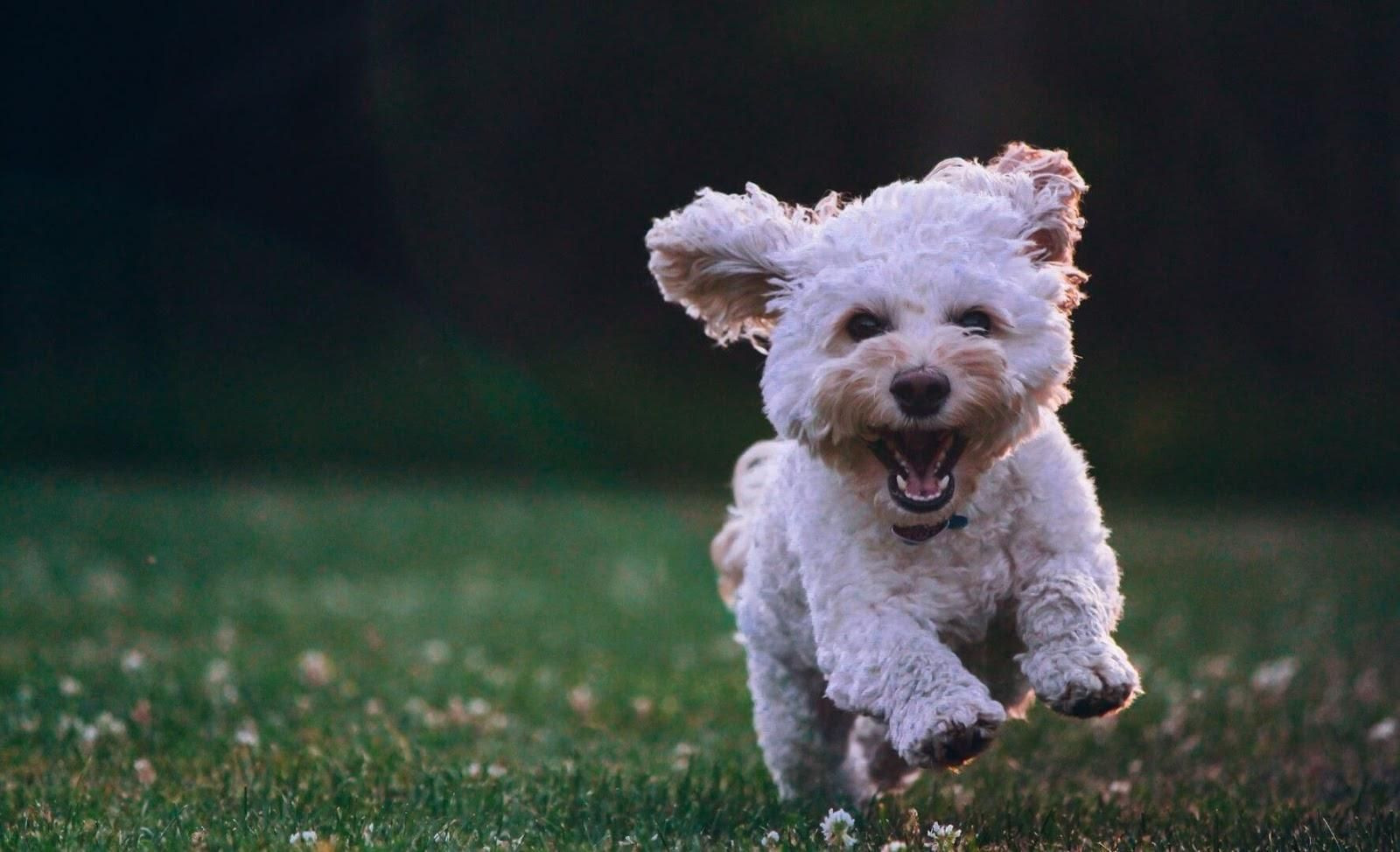 Picture of a small white dog running.
