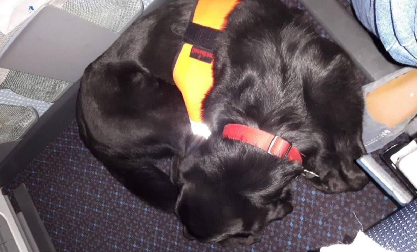 Picture of an assistance dog laying by its owner's seat