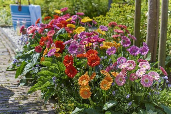 garvinea the garden gerbera, sweet series