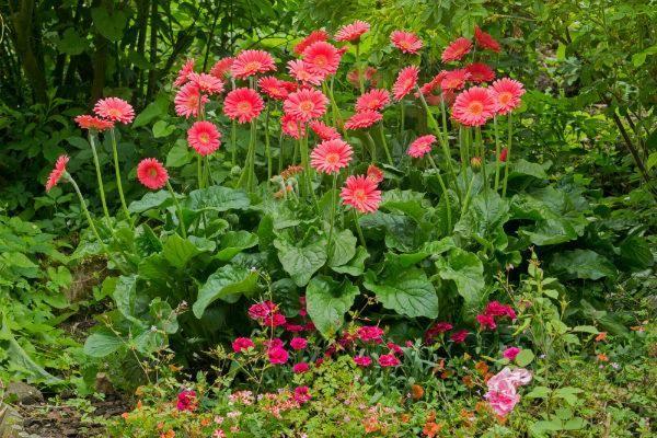 Garvinea Sweet Sixteen, the garden gerbera