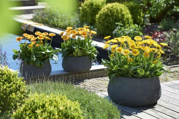 Garvinea, the garden gerbera, pyramid display at BBC Gardeners' World Live