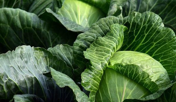 garden lovers diary cabbage