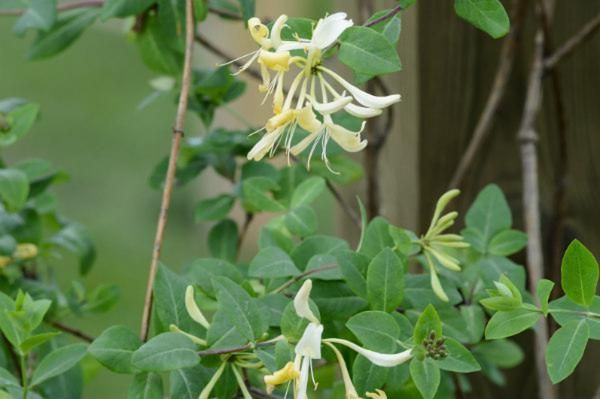 lonicera-training-climbing-plants-wyevale-garden-centres-solutions-garden