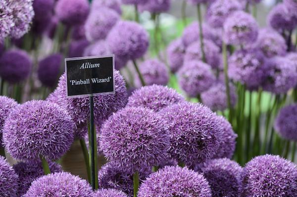 Allium Pinball Wizard at BBC Gardeners' World Live