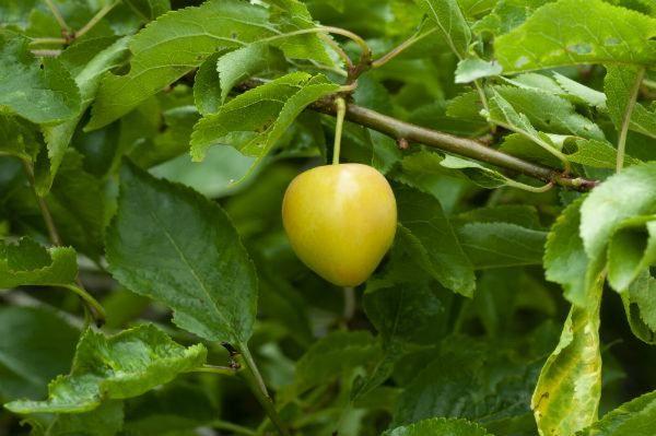 Damson fruit and leaves - credit The Woodland Trust / John Bridges