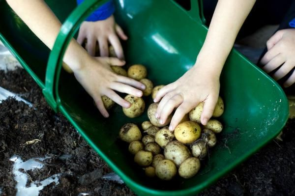 trug of potatoes - GYOP competition for schools