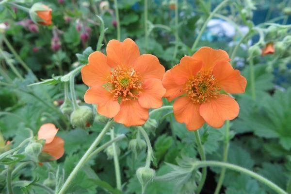 geum Baked Beans - east of england nursery