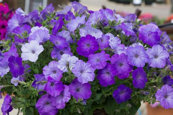 Petunia blue wave Ball Colegrave