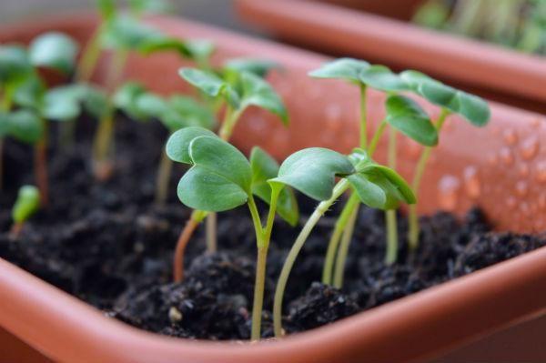 grow your own microgreens - indoor veg gardening