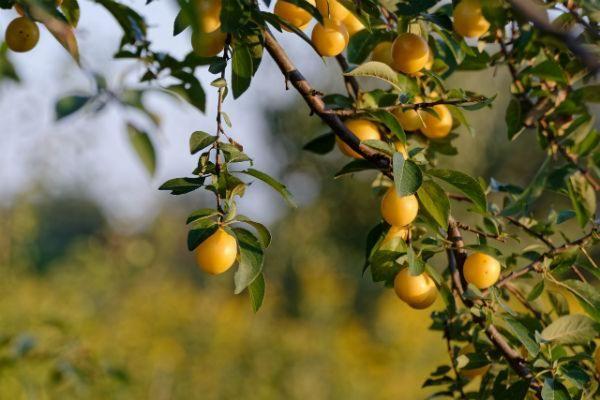 Damson tree fruit