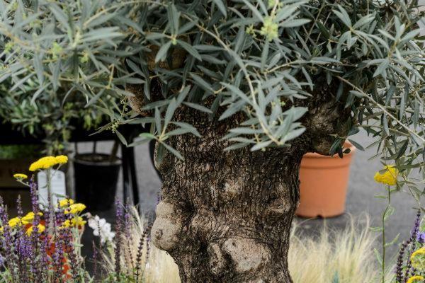 norfolk olive tree company at BBC Gardeners' World Live
