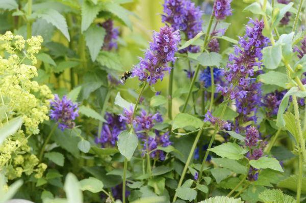 Macmillan Legacy Garden purple planting