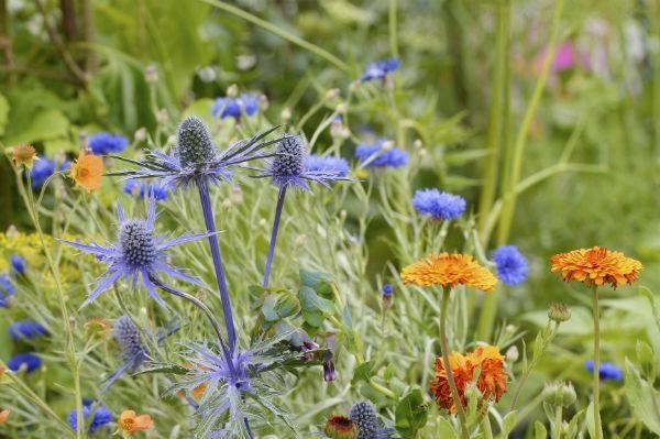 blue and orange planting - macmillan legacy garden