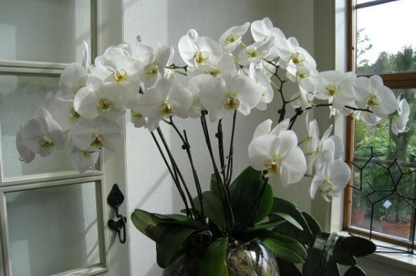 orchids flowering in a window