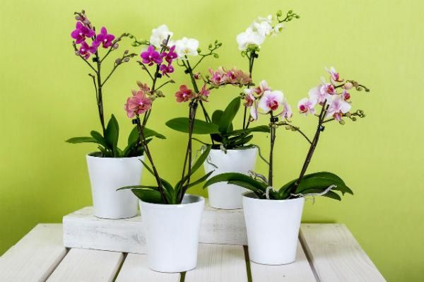 orchids in pots - expert growing tips