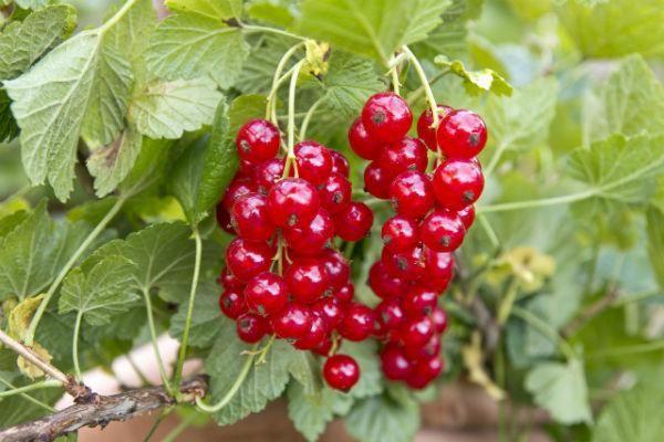 redcurrant - homegrown and homemade iced tea recipe