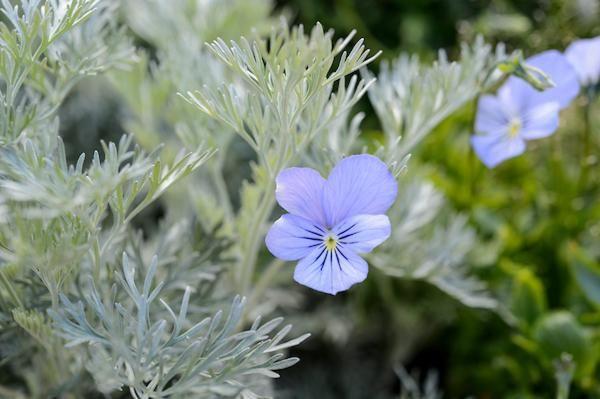 Geranium-pratense-Silver-Queen