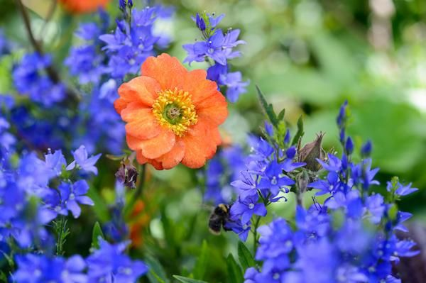 Geum-Fire-Opal-and-Veronica-Shirley-Blue