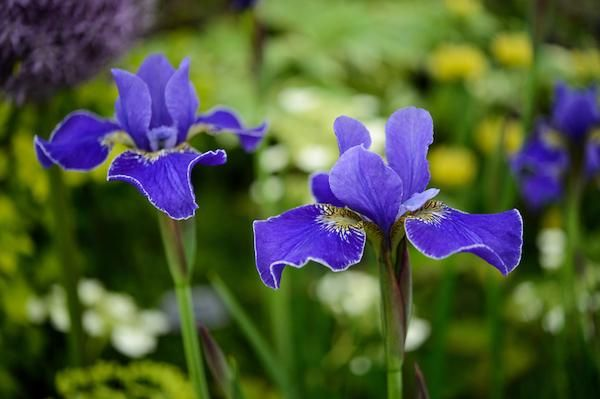 Iris-Sibirica-Silver-Edge