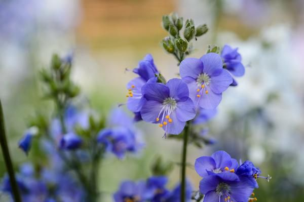 Polemonium in The Blues
