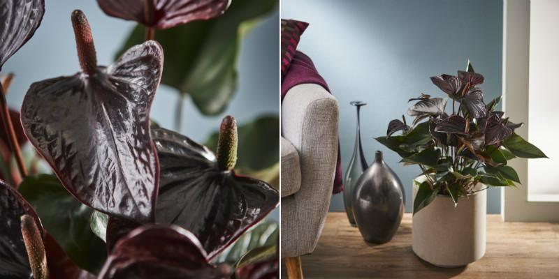 Suttons Anthurium Plant - Beauty Black