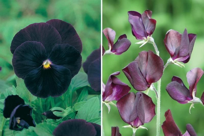 black blooms from Mr FOthergills