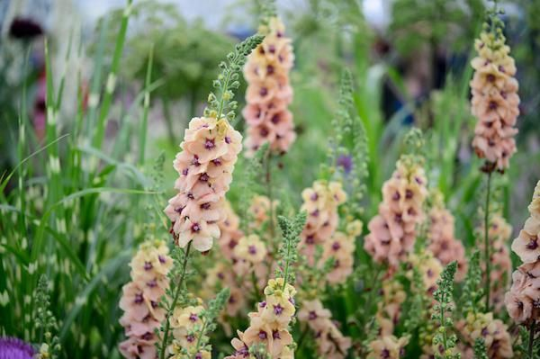 Verbascum Cotswold Beauty From Hardys Cottage Garden Plants in the Floral Marquee
