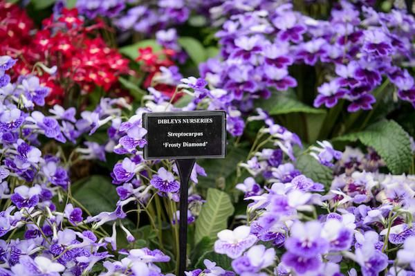 Award winning Streptocarpus at Dibleys Nursery in the BBC Gardeners' World Live Floral Marquee
