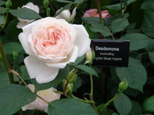 Desdemona rose, David Austin, Romance in the Ruins