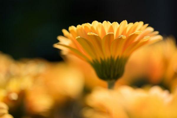 Garvinea the garden Gerbera, sweet honey