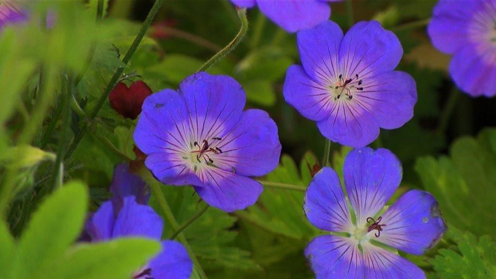 Geranium Rozanne, Golden Jubilee Plant nomination Carol Klien, Gardeners' World