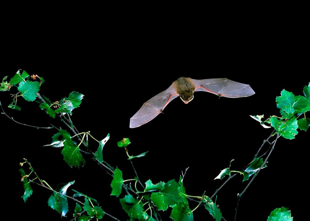 Batty for bats in our gardens