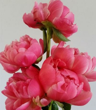 Peonies - creating stunning displays with cut flowers