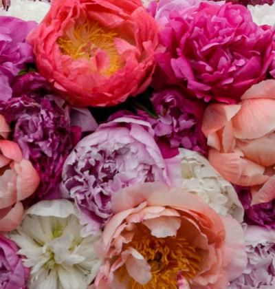 Peonies - all you need to know about the flower of the Royal Wedding